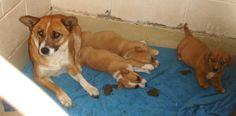 Corgi Mom Corgi Mix • Adult • Female • Medium San Angelo Animal Shelter San Angelo, TX