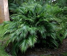 Looking for a small palm that tolerates shade? Check out bamboo palm and its relatives. Most stay under 10 feet tall, so they fit perfectly in the yard. Try it as a foundation planting, at the back of the border to create a textural backdrop for your other plants, or as a unique hedge