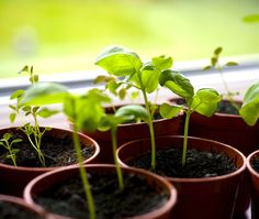 Rodale: How to Start an Indoor Herb Garden: When you pick the right plants and give them lots of sun, growing herbs indoors is easy. Organic Gardening, Gardening Tips, Indoor Gardening, Do It Yourself Food, Growing Herbs Indoors, Herbal Medicine, Fresh Herbs, Herb Garden, Fresh Flowers