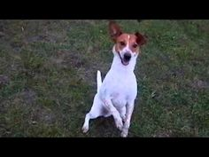 This is my half Blue Heeler/Jack Russell Terrier doing a few of the tricks he knows for frisbee tosses, a tad over enthusiastically.
