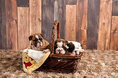 Baggy Bulldogs English Bulldog Funny, English Bulldogs, French Bulldog, Bulldog Puppies, Bullies, Doggies, Pugs, Dog Cat, Lovers