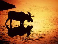Moose in Silhouette ~ Snake River, Wyoming Sunset Silhouette, Animal Silhouette, Moose Pictures, Animal Pictures, Moose Deer, Moose Art, Silhouette Photography, Sunset Landscape, Animal Wallpaper