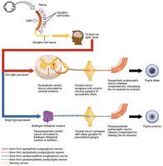 Symptoms of liver damage fighting fibromyalgia pinterest autonomic reflexes and homeostasis openstax cnx ccuart Images