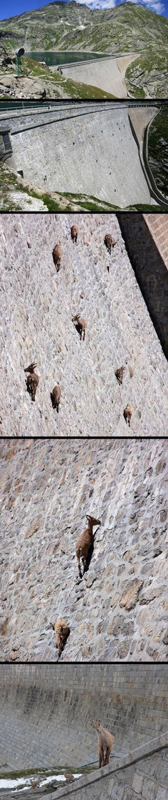 Goats doing what goats do