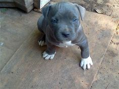 Blue pittbull puppies