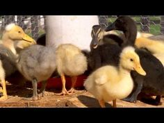 From Duckling to Duck | Farm Raised With P. Allen Smith  Make Way for Ducklings