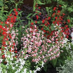 Salvia 'Summer Jewel' Mix - I started these from seeds from Jan. '17 trade. I also added the lavender color seeds I got separately. (tbb)