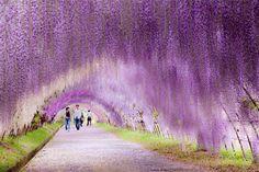 Japonya Kawachi Fuji Bahçeleri'nde renkli bir yürüyüş