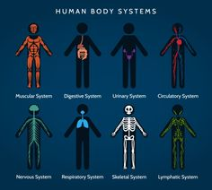 Human body systems anatomy by vectortatu on @creativemarket