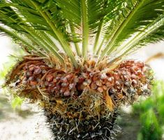 Female Sago Palm with Seeds Growing Seeds, Growing Plants, Sago Palm Care, Dog Friendly Backyard, Secret Life Of Plants, Cute Baby Sloths, Palm Garden, Cat Plants, Garden Weeds