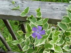 Vinca Major - How to care for your vinca major at http://lawnpatiobarn.wordpress.com/2010/04/13/vinca-major/