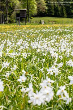 #Narzissen Wiese #Blüte #Mariazellerland