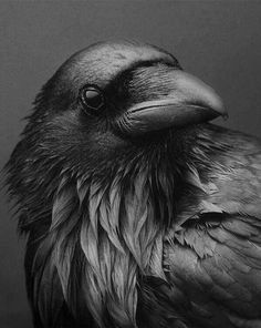 """"""" alwayssaltymiracle: """"Noir Raven """" """"Ravens and other members of the corvid family (crows, jays, and magpies) are known to be intelligent. They can remember individual human faces, expertly navigate human environments (like trash cans),. Raven And Wolf, Quoth The Raven, Raven Bird, Crow Or Raven, Raven Wings, The Crow, Crow Art, Bird Art, Raabe Tattoo"""