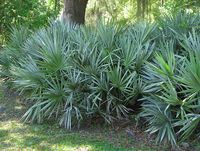 Saw Palmetto Palm Tree – Serenoa repens The Saw Palmetto Palm is also known as Sabal Palm. It is native to Florida and grows all over southeastern United States. The Saw Palmetto Palm is a very cold hardy palm that can tolerate cold down to 0-5F. This slow growing palm is perfect for landscape in USDA zones 7a-11