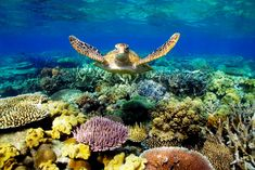 The Great Barrier Reef, home to thousands of underwater creatures and one of the seven wonders of the world, is as large as 70 million football fields (or Japan). Photo credit: www.sbs.com.au