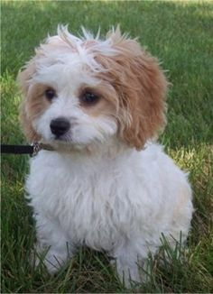 Cavachon - THIS IS MY DOG! well, not really but it looks just like it!!!!!!!