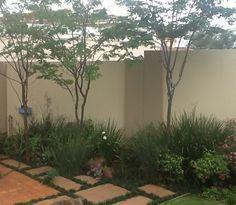 Leopard trees, my garden.
