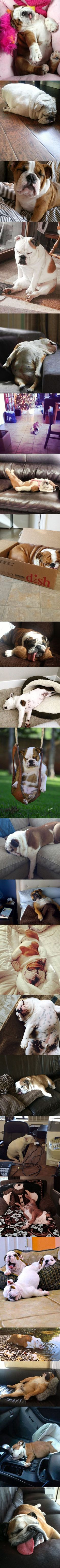It's official, English Bulldogs can sleep at absolutely any time and anywhere. We challenge you to find a location and time that a Bulldog wouldn't find a way to nap! www.bullymake.com