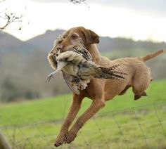 The rise of the Hungarian wirehaired vizsla in the UK | The Shooting Gazette