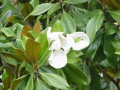 The Magnolia is the state flower of Mississippi and Louisiana.