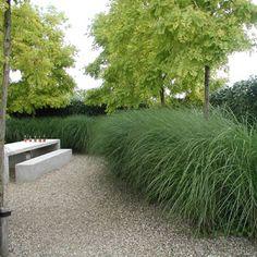 www.pflanzenversand-gaissmayer.de attachs miscanthus_sinensis_gracillimus_hecke63_350.jpg
