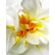 Floral Art Print, Botanical Daffodil Macro Wall Art, Contemporary... ($12) ❤ liked on Polyvore featuring home, home decor and wall art