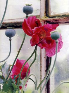 Papery poppies whose pods I love to dry and seeds to sow both to the garden and upon my sweets of lemon baked delights...