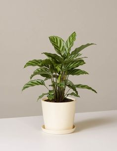 The Calathea Freddie is paired with our August Planter, an American-made stoneware vessel measuring tall and 5 wide. This plant is pet-friendly. It comes potted in our potting mix.