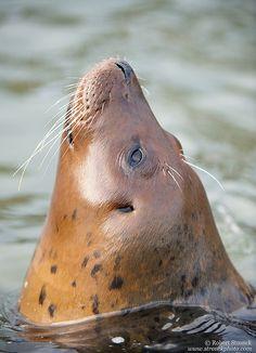 Harbor Seal, a brown eyed iceberg