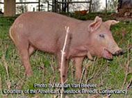 Red Wattle Hog Livestock.  This an old, heirloom breed of hog.
