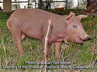 Red Wattle Hog Livestock.  This an old, heirloom breed of hog.