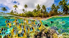 Tropical sea life below, and swaying palm trees above, Le Tahaa, French Polynesia. Photo by Chris McLennan.