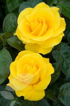 Golden Wedding Rose (floribunda/hybrid tea) I've never liked yellow flowers of any kind. I'm not a huge fan of yellow anything! However, these might just change my mind! Reminds me of lemon pie, which I #LOVE!