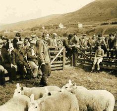 Margot Macgregor selling sheep at the Helmsdale sheep sales, Highlands, Scotland.