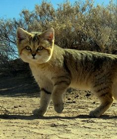 Whatchamacallits sand cats camouflage
