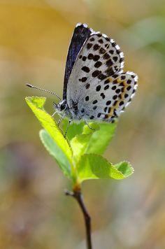 Fetthennen-Bläuling  (Scolitantides orion) - Unterfranken, 26. April 2015 Moth, Butterflies, Insects, Flowers, Butterfly