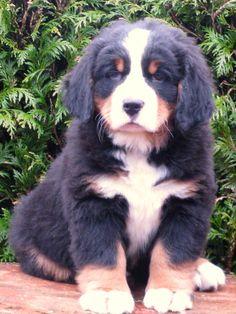 Bernese Mountain dog puppy!