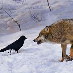 Wolf and Raven!!