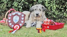 Proud Alfred celebrating his Best in Show win at Farndon Dog Show 2015 Dog Show, King, Celebrities, Dogs, Celebs, Pet Dogs, Dog, Famous People, Doggies