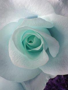 Blue Rose Photograph  - Blue Rose Fine Art Print