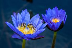 https://flic.kr/p/MuMe3m | Inner Glow | Blue waterlilies @Longwood Garden, Pennsylvania.