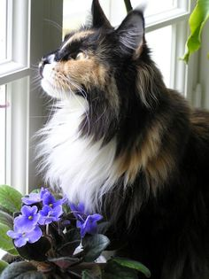 Maine Coon beauty - Oh how I miss my Tony.  This one looks like my Maizy, a torbie and white.  What a great pose.