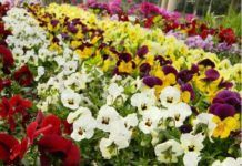 - Landia News Big Flowers, Butterfly Flowers, Discount Flowers, Bonsai Garden, Frou Frou, Cat Face, Flower Seeds, Pansies, Shakespeare