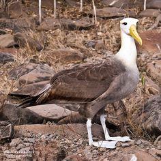 Proud Waved Albatross at Suarez Point, Española, Galapagos Islands