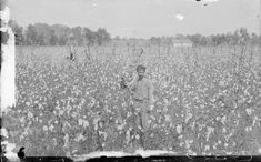 View of a man standing in a cotton field. Loyola University New Orleans, Louisiana State University, Louisiana History, Louisiana Tech, Oral History, Teaching History, Cotton Fields, Types Of Resources, Man Standing