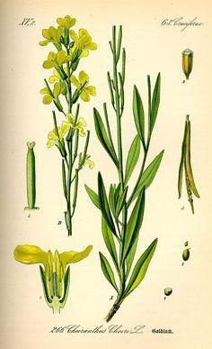 Cheiranthus cheiri. Flora von Deutschland Österreich und der Schweiz (1885).