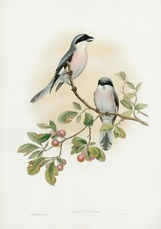 Rose Breasted Shrike - Lanius Minor USD $325 John Gould Birds of Great Britain 1862-1873