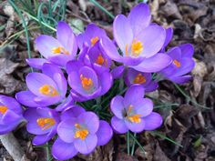 Don't miss these beauties, you'll find them just to your right after you pass through the Robins Visitor Center. The courtyard there is somewhat protected from the cold, so these crocus bloom earlier than the rest.