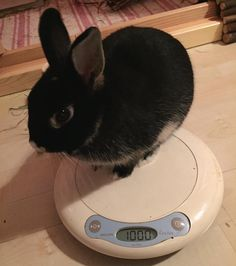 Wow! I'm 4months&20days today. And...1000gramm. It is 1kg. I'm not a tiny little bunny yet. Or?  #bunny #bunnies #rabbit #rabbits #rabbitstagram #rabbitsworldwide #rabbitsofinstagram #instabunny #instarabbit #bunnylife #bunnylove #bunniesworldwide #bunniesoftheworld #bunniesofinstagram #dwarfbunny #dwarfrabbit #netherlanddwarf #netherlanddwarfbunny #netherlanddwarfrabbit #kaninchen by zippoandbonbon