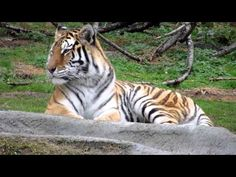"""""""I'm the Detroit Zoo Tiger.  Today is a good day to _______________ ."""""""